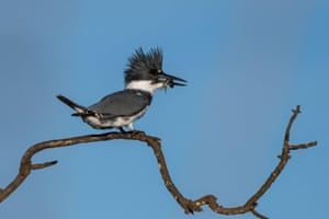 A male belted kingfisher holds a fish in its beak as it sits on a branch in Ventura, California