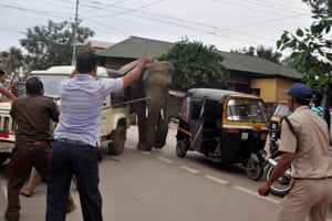 Forest officials try to steer a wild male elephant back to its herd in Guwahati, India