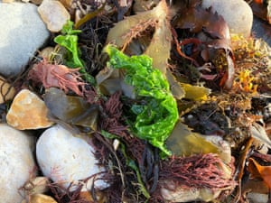 Sea lettuce on top of kelp and carrageen