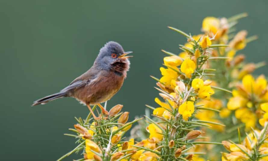 Dartford Warbler - New Forest, UK