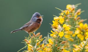 A dartford warbler in the New Forest.
