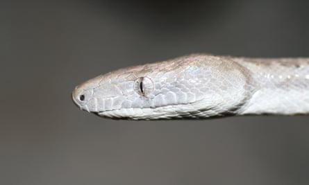 The snake is said to be critically endangered.