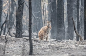 A Wallaby stands in the burnout bush be the side of Moss Vale Rd, outside of Kangaroo Valley.