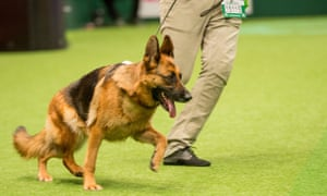 Cruaghaire Catoria, winner of best German shepherd at Crufts