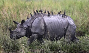Birds sit on the top of an Indian one horned Rhino on the eve of the reopening of the Kaziranga national park in Assam, India