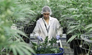 An employee collects cannabis plant cuttings at Hexo Corp's facilities in Quebec