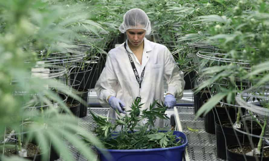 Cuttings from cannabis plants being collected at a commercial grower's facility in Canada.