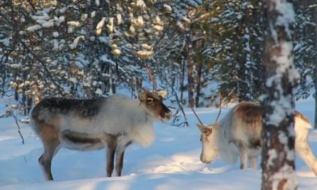 Kechimov's reindeer.