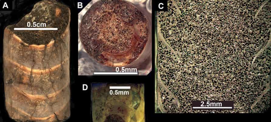 Shell morphology of various Antarcticeras nordenskjoeldi fossils, figure 1 in Doguzhaeva et al. 2017.