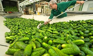 Gherkins, here being sorted in Lübbenau, are a type of cucumber.