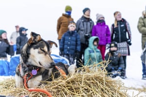 A dog in Thomas Waerner's team rests in Unalakleet, Alaska, Sunday, March 15, 2020 during the Iditarod Trail Sled Dog Race.
