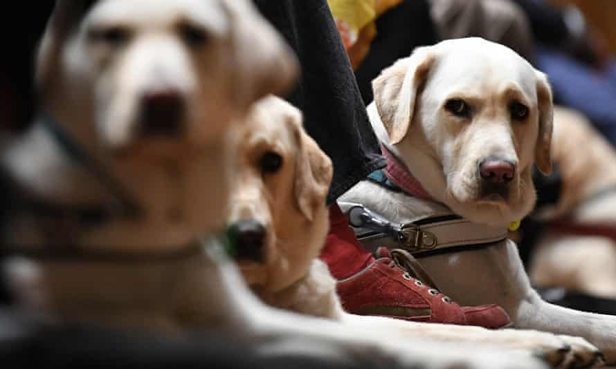 The daily job of a guide dog is to navigate the cacophony of people, smells, sights and sounds of the world around them for their visually impaired handlers.