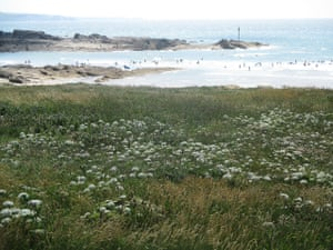 Wild carrot above Summerleaze beach, with surfers in the distance