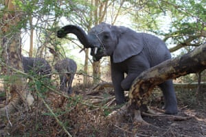 Orphaned elephant, called Quanza