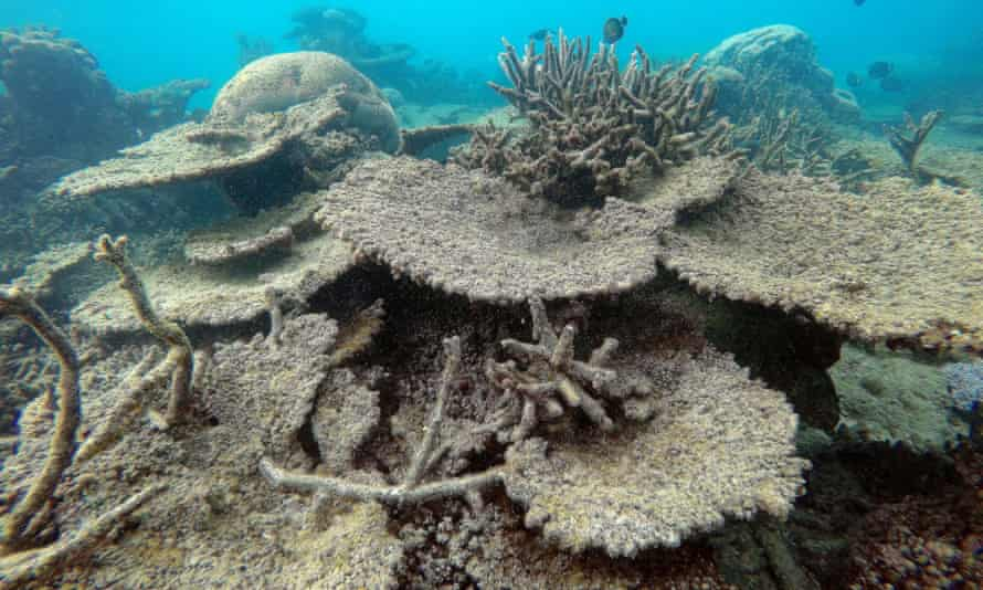 Great Barrier Reef dead table corals