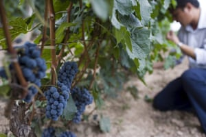 A vine manager checks grapes in west Shanxi province.