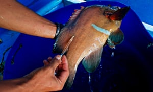 A fish is injected with antibiotics. Americans appear to be resorting to the same products.