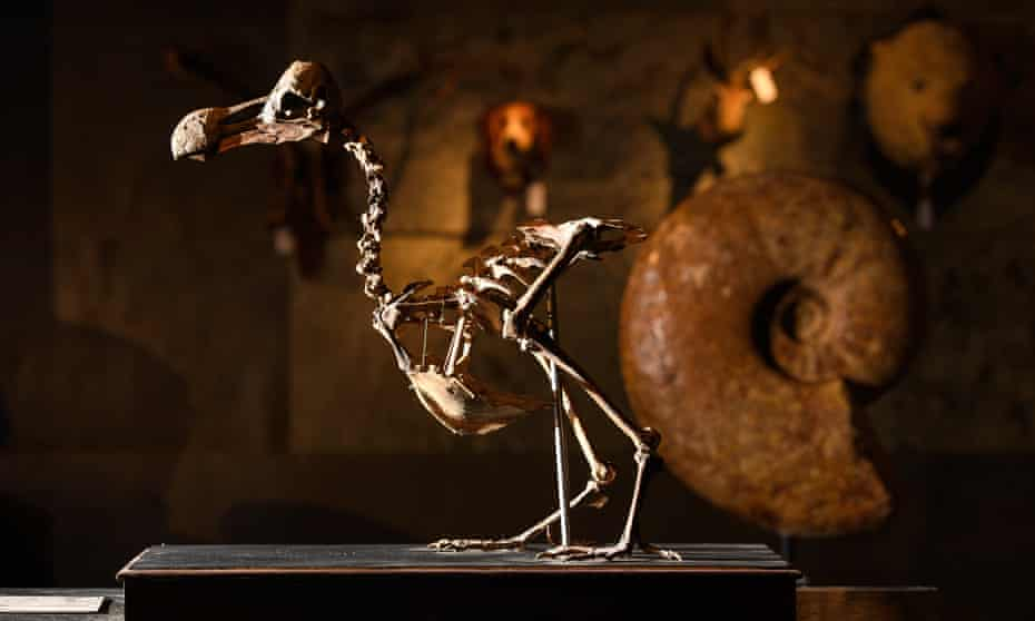 Summers Place Auctions sells first Dodo skeleton in a century for £346,300Summers Place Auctions announces the sale of a 95% complete composite skeleton of a Dodo the first to come up for sale since the early 20th century. It was part of the fourth Evolution sale at Summers Place Auctions on Tuesday, 22nd November 2016 and the hammer went down at £280,000.