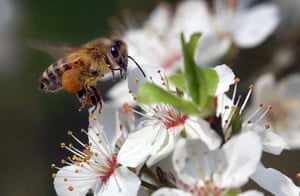 A honey bee flies to blossoms on a mirabelle tree with bulging 'panties' full of pollen. The fruit, also called yellow plum, flowers relatively early and offers nectar to the insects. To obtain some, bees collect pollen on their hind-leg hairs on a pistil and then fertilise the next flower. Only then can fruits develop. After the long winter rest, the bees make use of the rising temperatures to gather food for their brood. Honey bees fly only when the weather is warm for several consecutive days