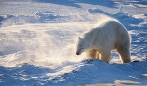 Male polar bear shaking off snow by Ian Stone in Hudson Bay, Canada