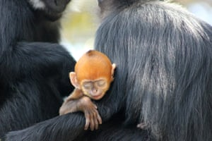 Taronga Zoo in Sydney, Australia, is celebrating the birth of a Francois' langur, one of the world's rarest monkeys