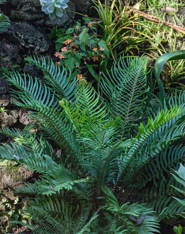 Photograph of Blechnum cycadifolium.