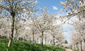 'Tai-Haku' cherries at Alnwick Garden, Northumberland.