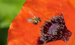 Honey bee on a poppy.