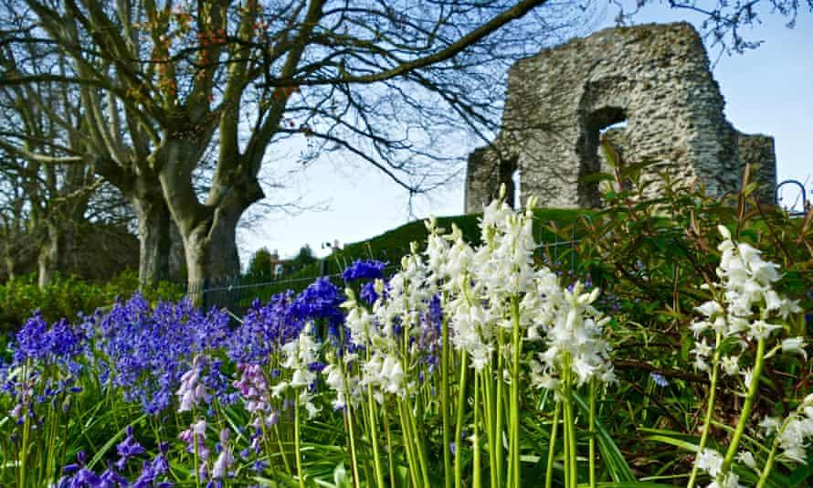 Bluebells at Christchurch Castle in Dorset