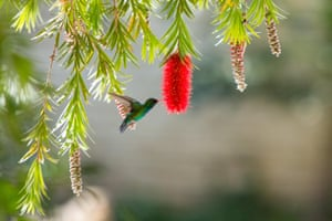 A glittering-bellied emerald hummingbird drinks nectar from a weeping bottlebrush flower in Asuncion, Paraguay