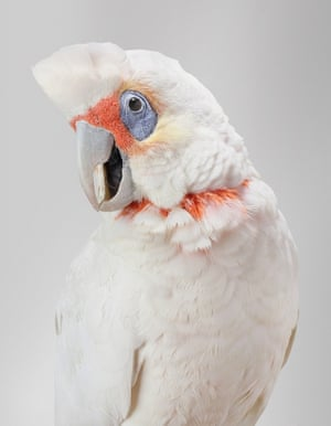 Bob the Long-billed corella, from Bird Love by Leila Jeffreys, published by Abrams (£25.00)