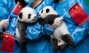 Giant panda cubs at the Chengdu research base for breeding the animals in China's Sichuan province. A total of seven giant panda cubs born in the base in 2019 were presented to the public