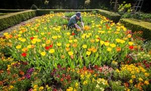 a tulip garden