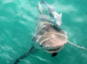 A bull shark and remora.