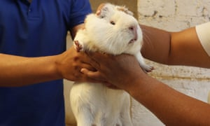 María del Carmen Pilapana chooses a guinea pig at a farm in Ecuador. The animals are typically cooked with salt and served with potatoes and peanut sauce, but Pilapana serves them as a cold dessert