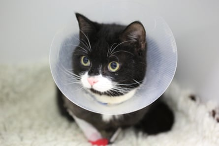 In recovery … Peanut the cat features in The Supervet: Noel Fitzpatrick.