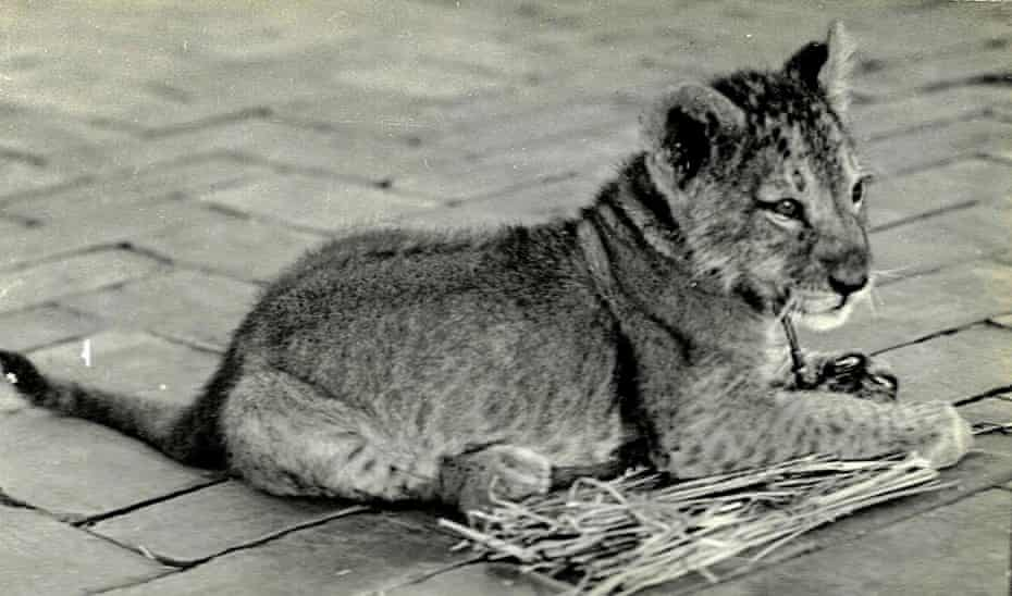 Singh Sher Kab, two months old, on the rooftop of the Hotel Excels, Naples, on April 21, 1935, just days before Mussolini was introduced from Rome.