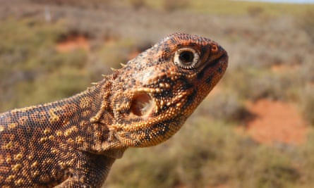 Most of the animals relocated from the Wheatstone LNG plant site were reptiles, like this central netted dragon (Ctenophorus nuchalis).