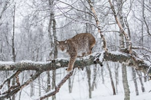 But there is some good news: conservation measures including the preservation of habitat and strict controls on hunting have led to population increases in Europe for the brown bear, grey wolf and Eurasian lynx (pictured), which has increased by 495% since 1963.
