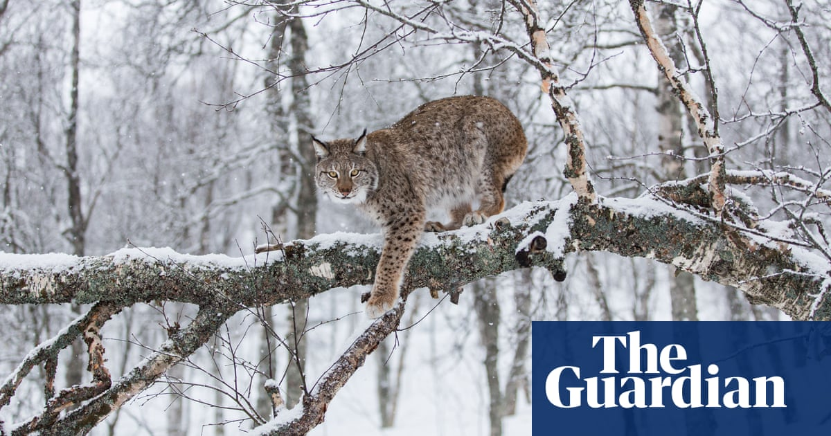 Escaping Tail End Of Winter By Roaming >> Will Reintroduced Lynx Hunt Britain S Sheep Environment The