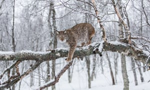 The Eurasian lynx: research from other European countries shows their reintroduction is unlikely to trouble British farmers. Photograph: Alamy