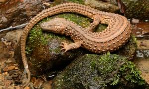 An earless monitor lizard (<em>Lanthanotus borneensis</em>). Pairs can sell for around €5,000.