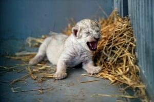 Jerash, Jordan A newborn lion cub squeals in a cage at the al-Ma'wa wildlife reserve