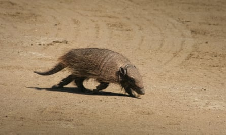 The screaming hairy armadillo, one of the many species under threat in the Gran Chaco forest.
