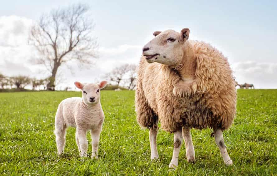 Una oveja y su cordero disfrutando del buen tiempo en el campo en una granja de Cumbria en Inglaterra, Reino Unido.