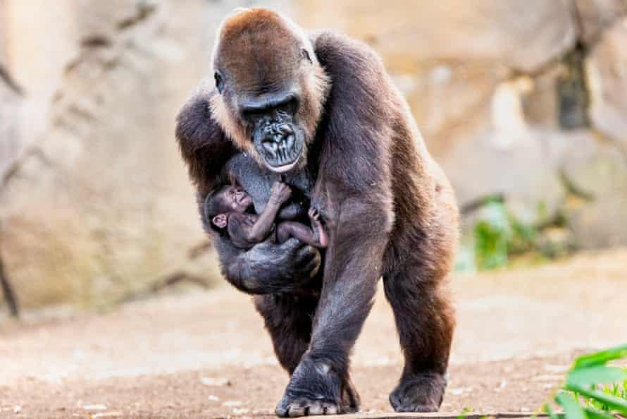 A rare western lowland gorilla baby born at Taronga zoo in June 2019.