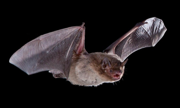 'Olympian' bat killed by cat after record flight from UK to Russia