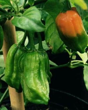 'Bengali Naga' chilli plant