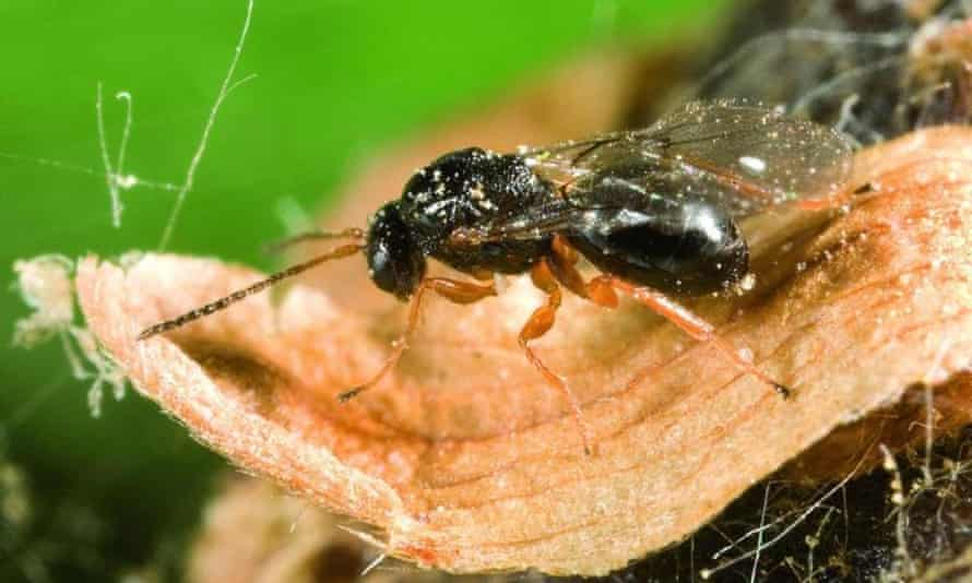 The oriental chestnut gall wasp (Dryocosmus kuriphilus) was first found in Farningham woods near Sevenoaks in Kent, and a street in St Albans in Hertfordshire.