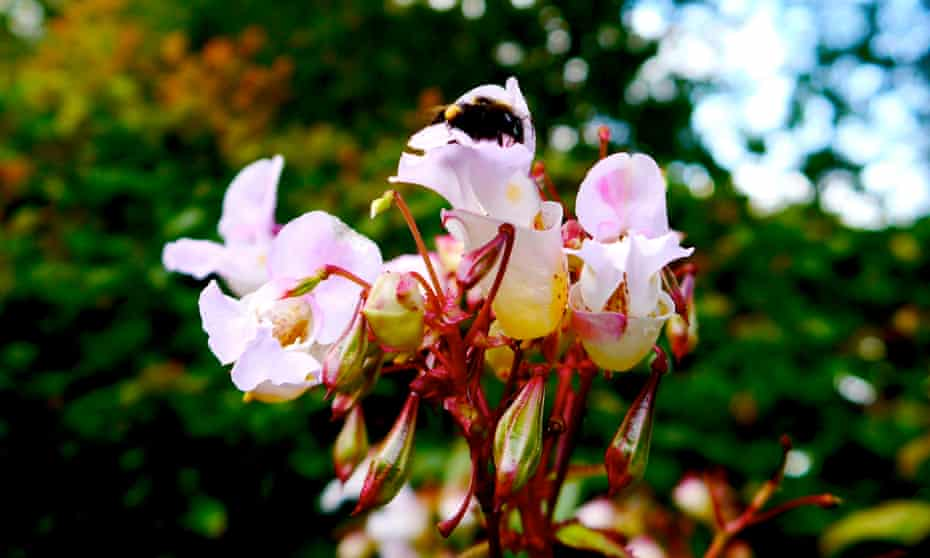 A bumblebee seeks out the nectar of a naturalised Himalayan balsam, a plant introduced to Britain in the 19th century as a garden ornamental.